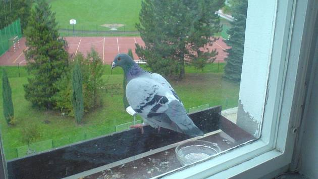 Holub létá na okno do Blovic od srpna