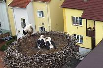 Podívejte se na matku roku. Samice čápa z Chotěšova odchovala mláďata sama.