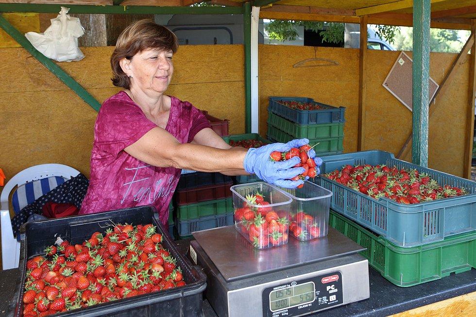 Na pěti hektarech mezi Plzní a Radčicemi dozrávají jahody různých odrůd. Cena jahod je 100 korun a při samosběru 80 korun za kilogram. Na snímku Věra Hasmanová.