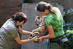 Očkování proti vzteklině a dalším nemocem absolvovali plzeňské zoo ve středu tři tygří samečci
