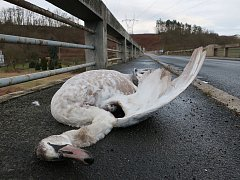 Mládě labutě v Dolanech.