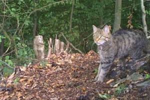 V okolí Dobříše na Příbramsku se zhruba po sto letech podařilo zdokumentovat výskyt kočky divoké.