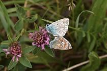 Světlou výjimkou mezi ohroženými druhy modrásků je modrásek jehlicový. Jeden z nejběžnější českých modrásků je právě aktuálně k vidění.