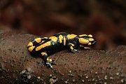 V Brdech patří mlok (Salamandra salamandra) mezi nejvzácnější obojživelníky. Stabilní početná populace je známá pouze na jediné lokalitě.