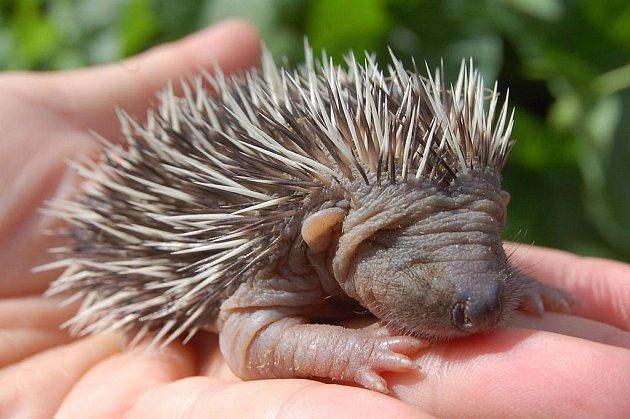 Jedno z mláďat ježka, jehož matku zabil pes.
