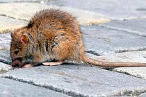 Potkan. Ilustrační foto.
