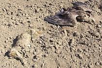 Otrávená liška s orlem mořským.