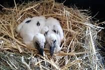 Ochránci fauny České republiky ve spolupráci s Hasičským záchranným sborem v Příbrami zachraňovali čapí mláďata, kterým uhynul táta - samec z hnízdícího páru.