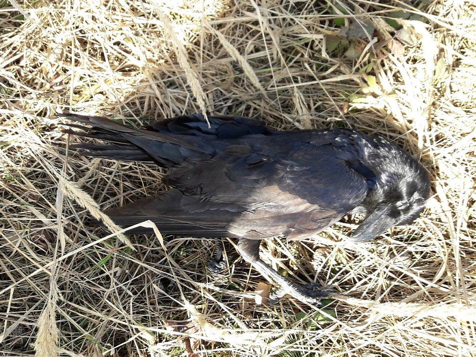 Krkavec velký nalezený v sobotu 20. února 2021 u Sedlice na Příbramsku.