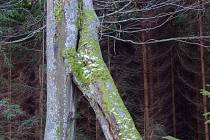 Památný buk, který je spíše znám pod jménem Buk-Dvoják, přejmenovali lesníci podle typu růstu na Buk-Bránu.