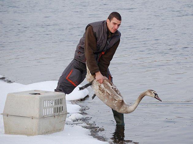 Vypouštění labutě velké do přírody.