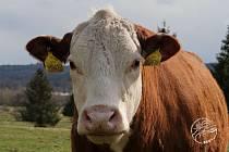 Kráva na pastvě u Padrťských rybníků v Brdech.