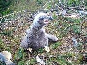Dvou až třítýdenní mládě orla mořského na hnízdě ve středních Brdech z tohoto roku.