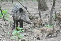 POTKAT v lese bachyni se selaty nemusí být v současné době, kdy je černá zvěř přemnožená, nic neobvyklého. A vzhledem k tomu, že prasnice je obvykle připravena velmi ostře bránit své potomky, nemusí být takovéto setkání pro laickou veřejnost příjemné.