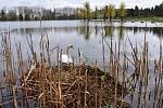Na přírodním koupališti Nový rybník zahnízdil labutí pár.