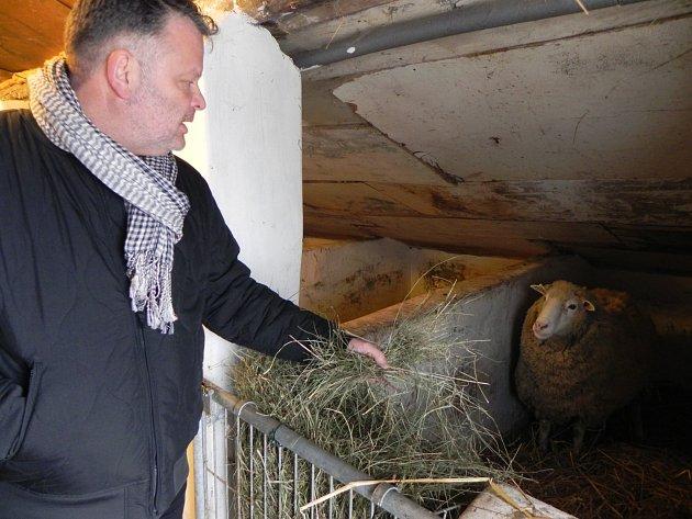 Vladimír Král, ředitel Ekologického centra Orlov při přivítání nečekaných nových přírůstků v areálu, a pět zachráněných ovcí při krmení.