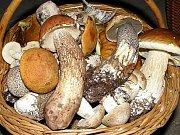 Snad se houbaři dočkají podobně zaplněného košíku několika druhy hřibů a křemenáčů.