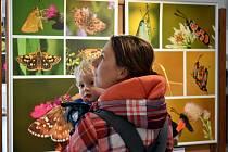 Z výstavy 'Pestrý svět našich motýlů' v Městském muzeu v Sedlčanech.