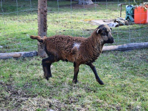 Jehně ovce kamerunské má nový domov v Podlesí.