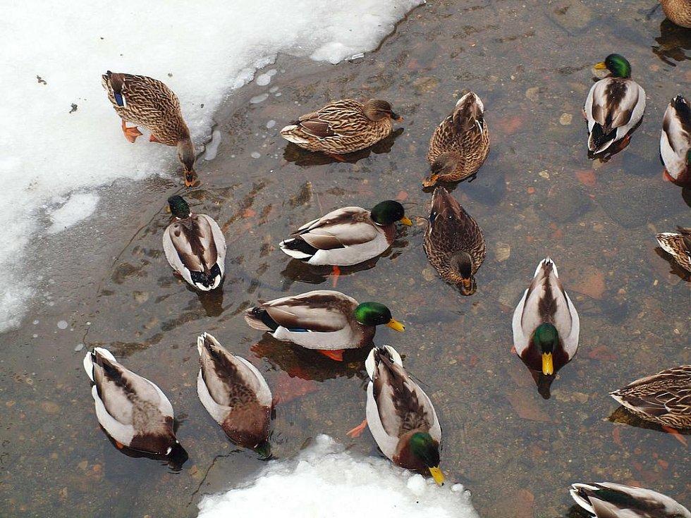 Kachny divoké se také rády nechají krmit na rybnících nebo na potocích.