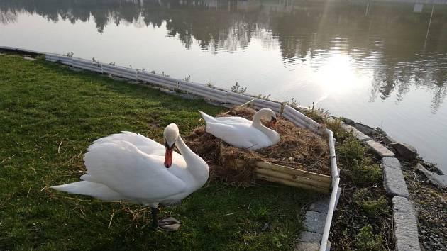 Labutě se uhnízdily na ostrůvku Nového rybníka v Příbrami.