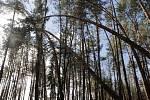Sabina řádila na Příbramsku hlavně v lesních porostech.