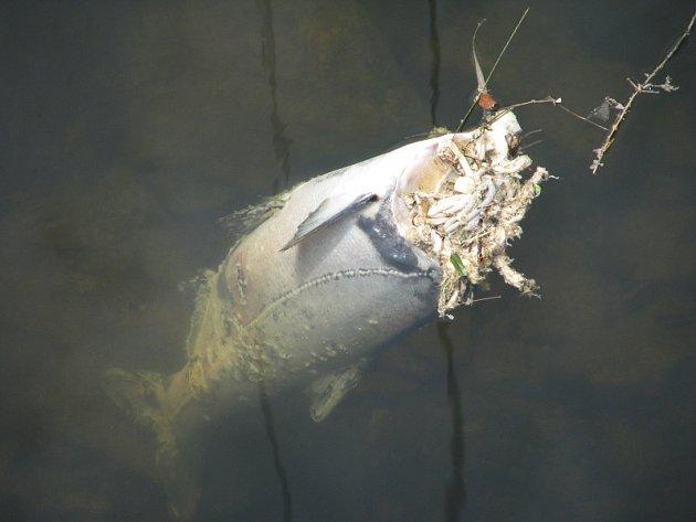 Při upouštění Orlické přehrady zahynuly tisíce ryb