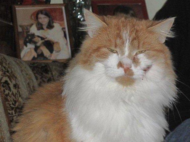 Nalezený kocour čeká na majitele v Domově fauny v Hrachově.