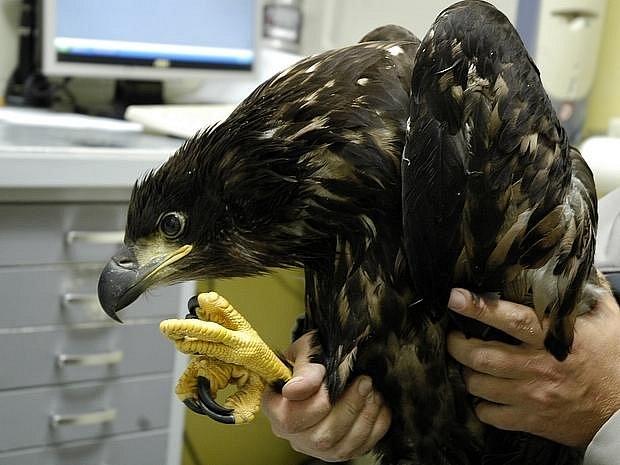 Ochrana fauny ČR shání peníze na zaplacení složité operace zraněného mláděte ohroženého druhu orla mořského. Bližší informace získáte na čísle 603 259 902.