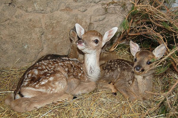 NALEZENÁ mláďata lze zpřírody odnášet pouze zdůvodu zranění nebo extrémních klimatických podmínek, podobně jako tomu bylo na snímku  vpřípadě těchto mláďat dančí a srnčí zvěře vloni při povodních.