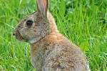 Vypouštění králíků.