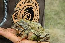 Ochrana fauny ČR buduje žabí přechody.