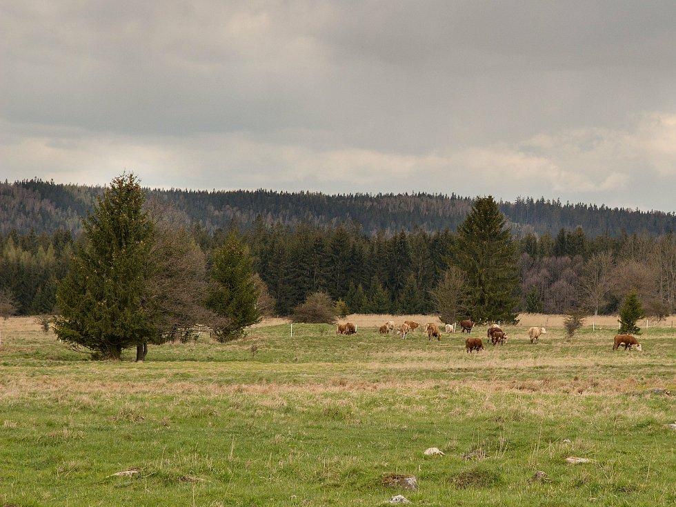 Krávy na pastvě u Padrťských rybníků v Brdech.