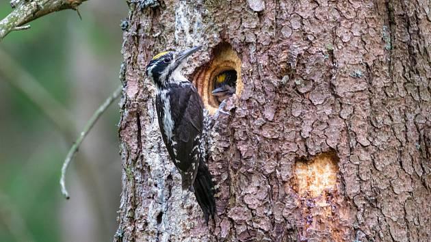 Datlík potřebuje k životu jehličnaté či smíšené lesy pralesovitého charakteru se starými stromy, zlomy a vývraty, kterých ve středních Čechách mnoho nezbylo.