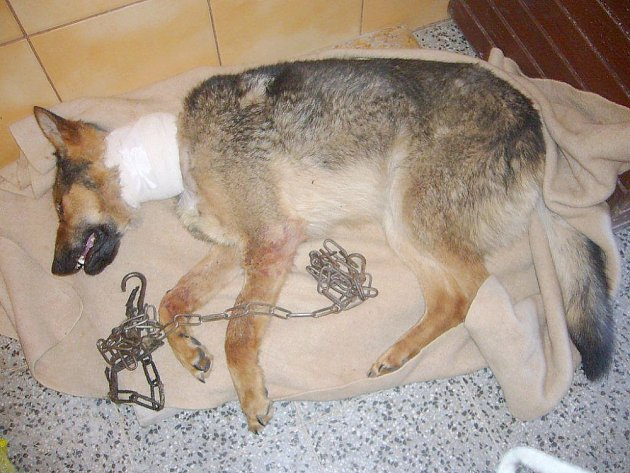 Vyčerpaný a zraněný Laky v péči Domova fauny v Hrachově.