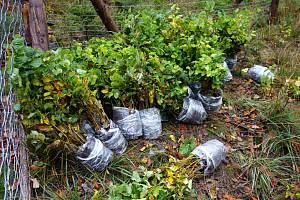 Nejvysazovanější dřevinou byl buk lesní, na obrázku krytokořenné sazenice připravené k sadbě.