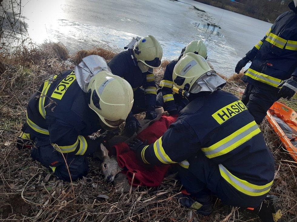 Sedlčanští hasiči zachránili tonoucí srnu.