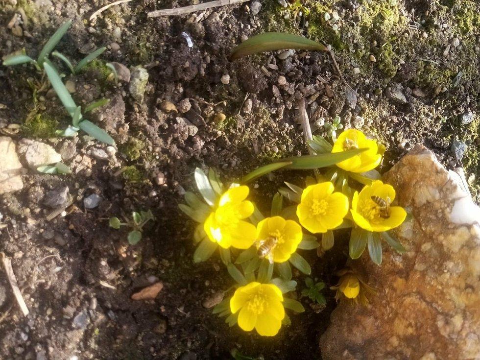 Fotografie prvních jarních květin zaslal Jaroslav Batík.