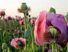 Nezralé makovice jsou snadným zdrojem opia