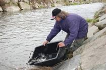 Rybáři zarybňují Litavku.