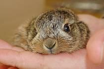 Malý zajíček, o kterého se starají ve stanici.