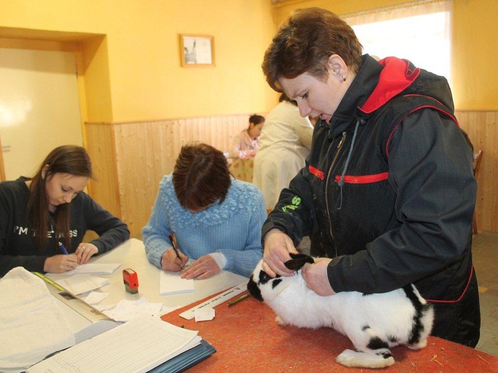 Posuzování králíku na výstavě drobného zvířectva v Rakovníku