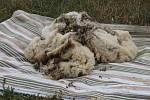 Stříhání ovcí