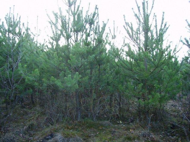 Vánoční stromky v lese