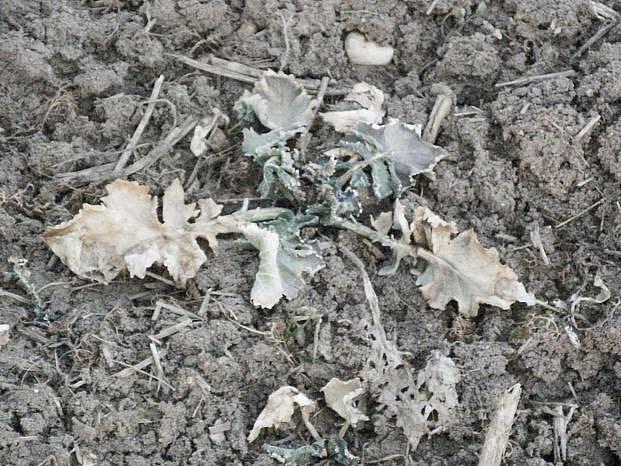 Řepku ozimou poškodily holomrazy a sucho