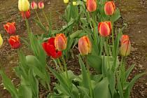 Tulipány ze sbírky J. Netíka v rakovnické botanické zahradě