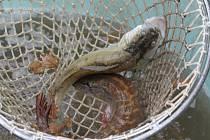 Ryby ilustrační foto