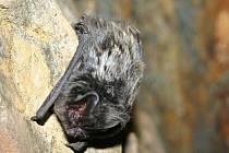 Zimní sčítání netopýů na Rakovnicku 2011