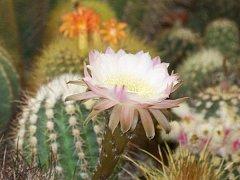 Výstava kaktusů a kalendářů