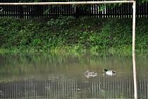 Největší radost z vytrvalého deště mají kachny - ty si v klidu plavou na tréninkovém hřišti v Roztokách